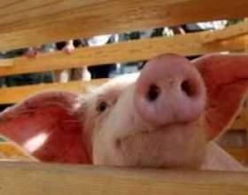 Чим страшний свинячий грип? фото